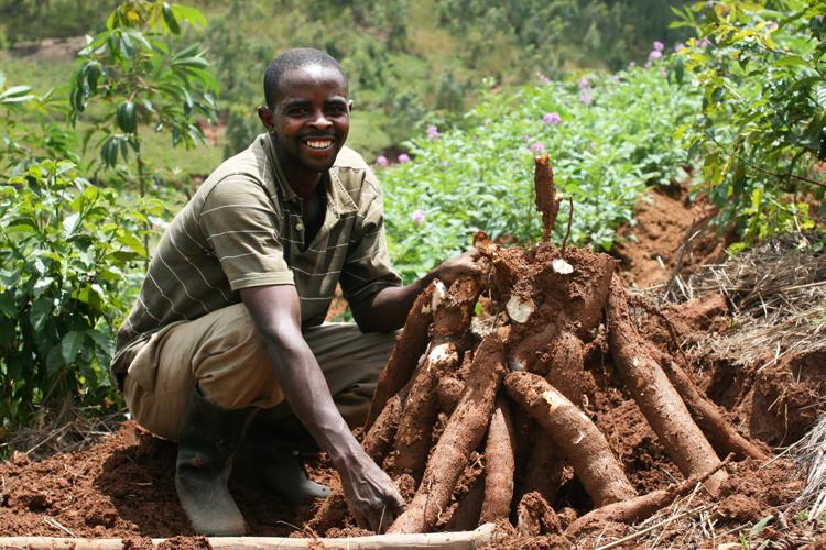 Cassava Farming in Ghana