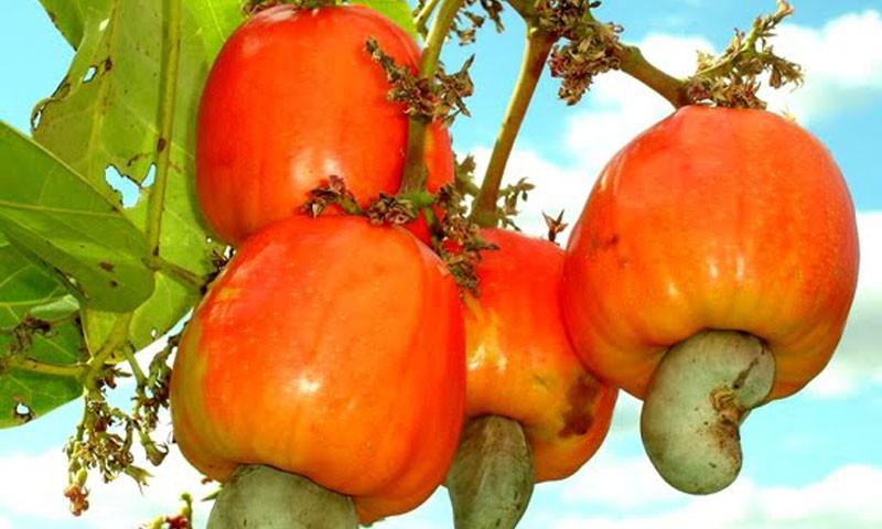 Cashew Farminh